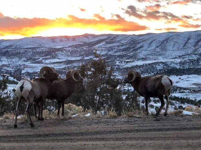 Hiking the Colorado River Basin with Bighorn Sheep
