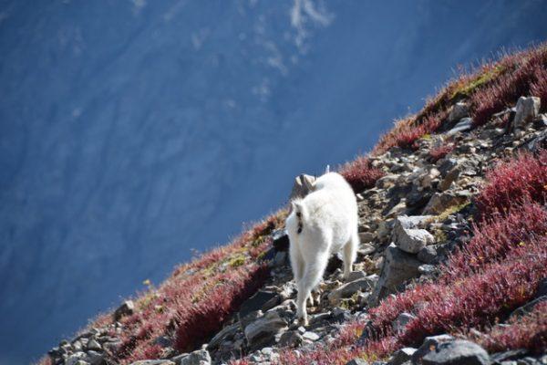 Mountain Goat on a Colorado Scramble