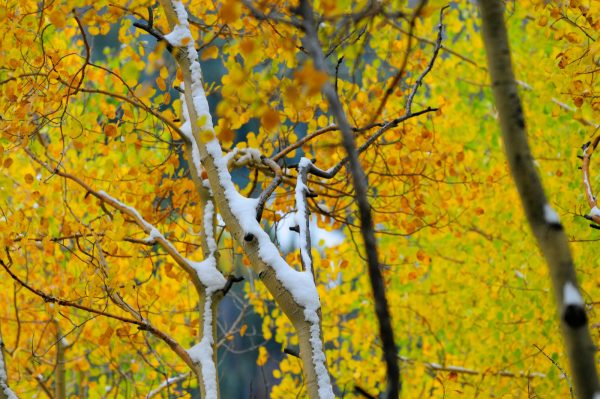 close up of snow on tress with fall foliage