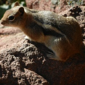 close up of a chipmunk on a rock