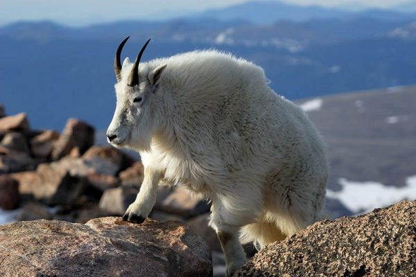 white mountain goat climbing rocks