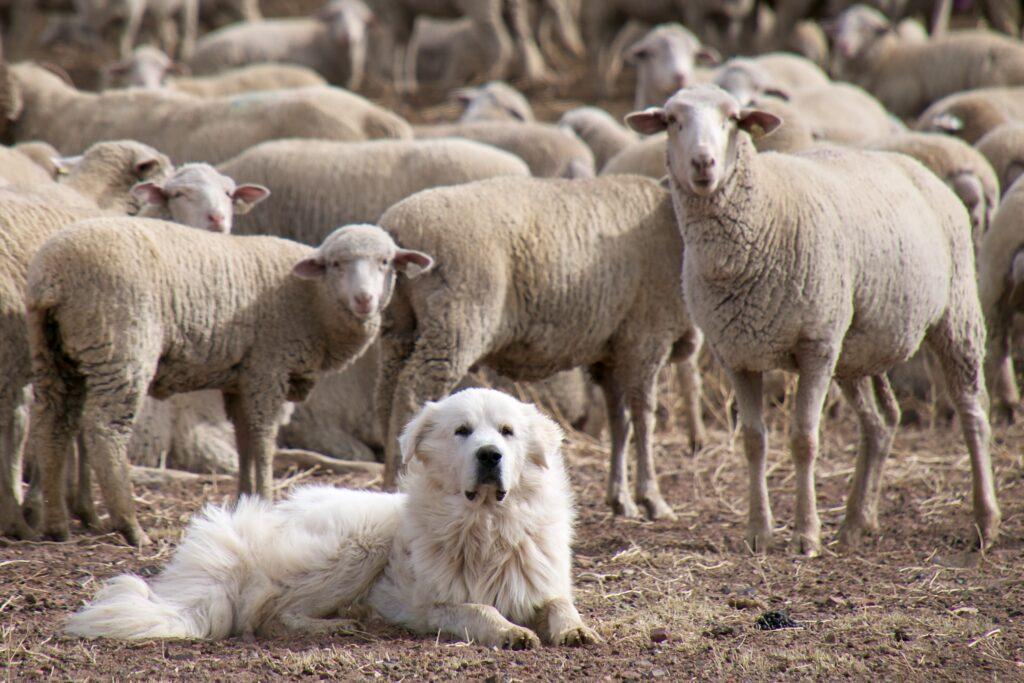 dog among sheep outside