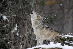wold howl snow