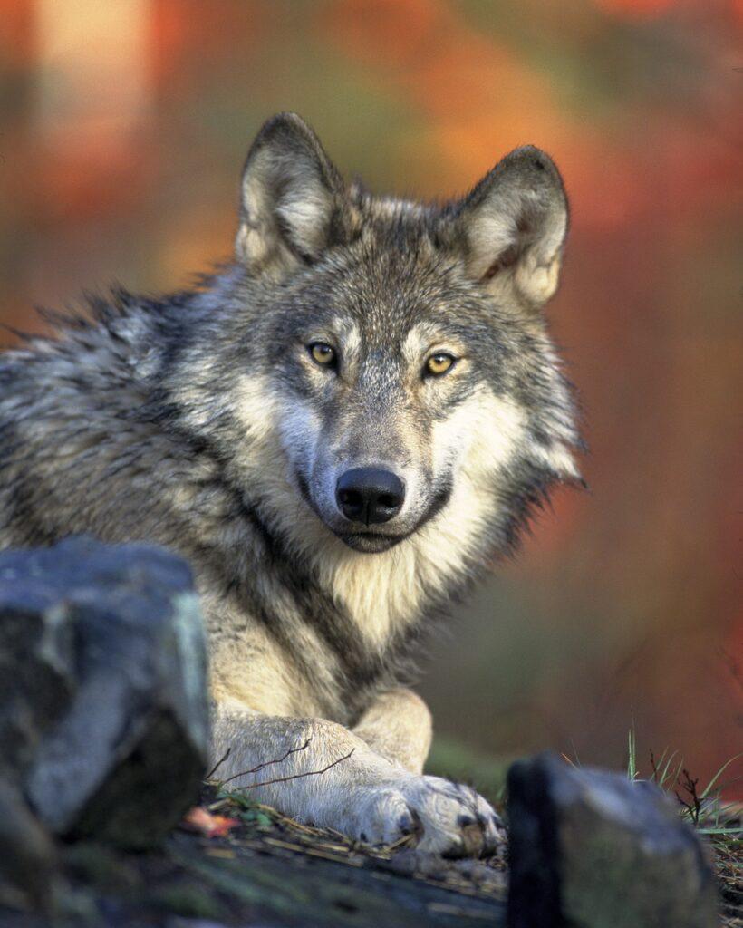 wolf staring at camera